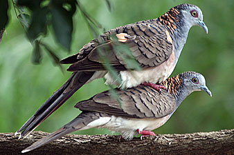 Bar-shouldered Dove
