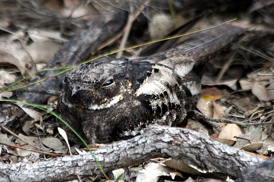 White-throated Nightjar