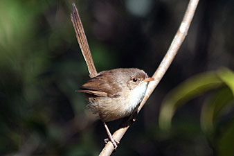 Female Red-backed Fairy-wren