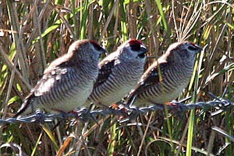 Plum-headed Finches