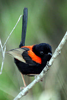 Red-backed Fairy-wren