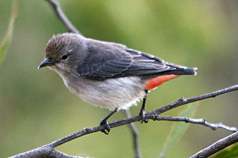 Female Mistletoebird