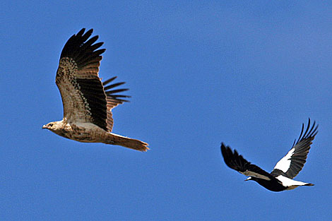 Whistling Kite and Australian Magpie