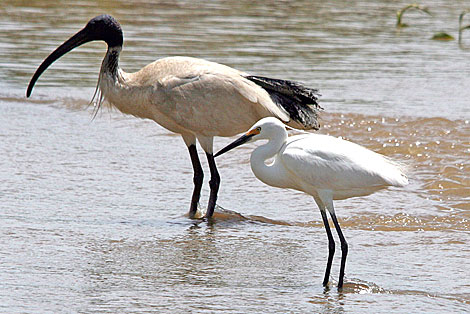 Australian White Ibis and Little Egret