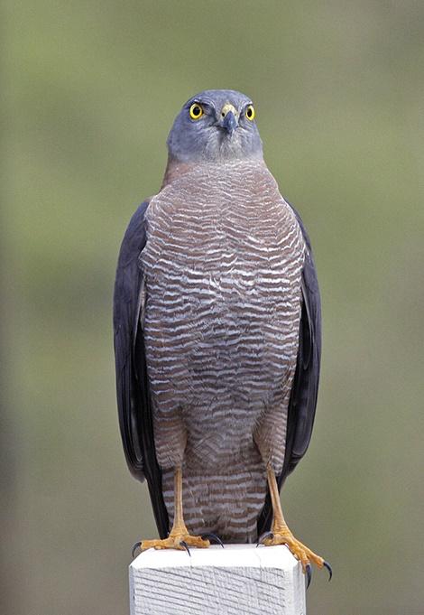 What S About Abberton Bird Lodge Queensland Australia Birds Birding Birdwatching Guiding Tours Accommodation